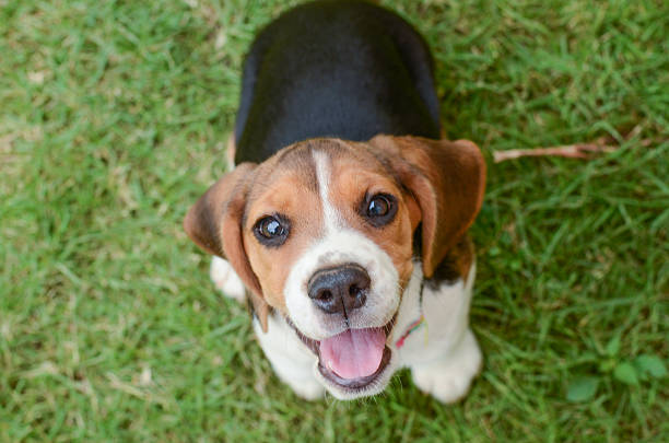 Beagle puppy Beagle puppy sitting in green grass beagle stock pictures, royalty-free photos & images