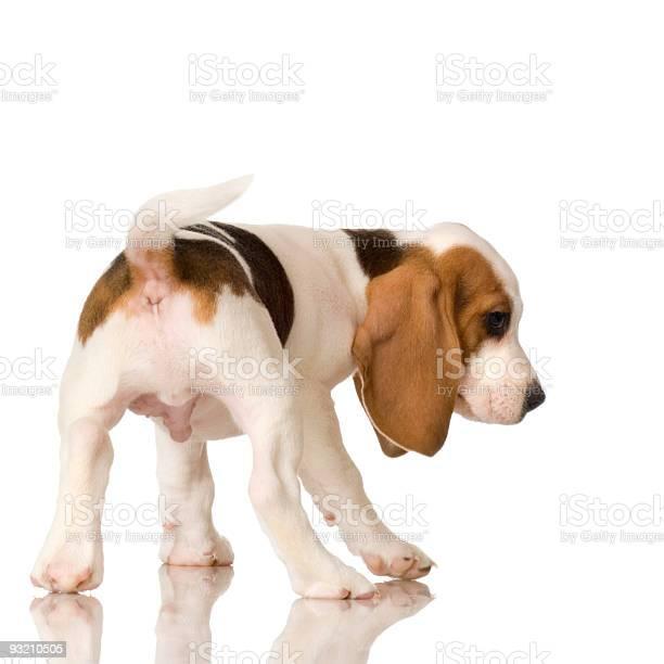 Beagle puppy picture id93210505?b=1&k=6&m=93210505&s=612x612&h=hbsbptjm3zzsuichgnrxtn8ax2rjf57rgvv39fv u0i=