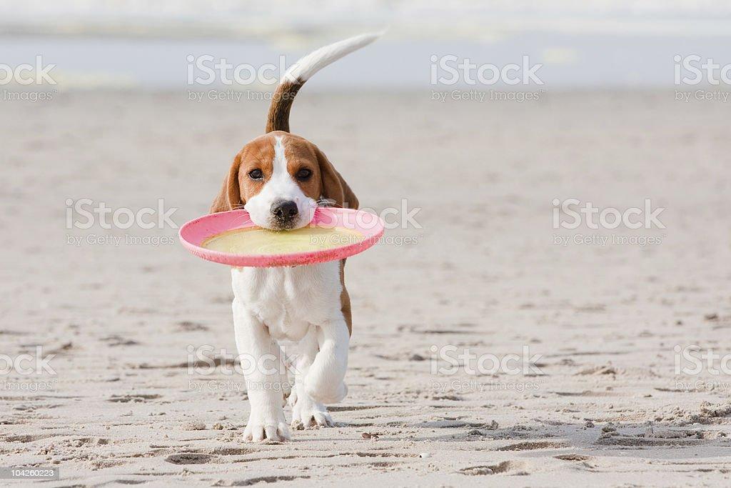 Beagle puppy playing stock photo