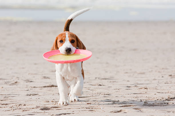 Beagle puppy playing Small dog, beagle puppy playing with frisbee on beach plastic disc stock pictures, royalty-free photos & images