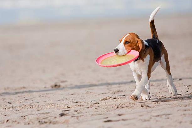 Beagle puppy playing with a frisbee on the beach picture id104260216?b=1&k=6&m=104260216&s=612x612&w=0&h=dmkfymotyukmrf4iy1tbsxh8p alf7vseejtgpxxiy8=