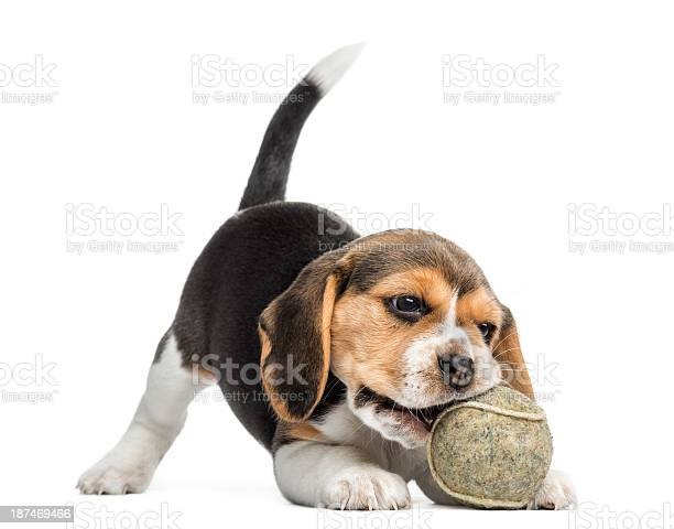Beagle puppy playing with a tennis ball isolated on white picture id187469466?b=1&k=6&m=187469466&s=612x612&h=yvywu2lkiprr3uoa0ivxztjeozyhp9 rgcroflfhgac=