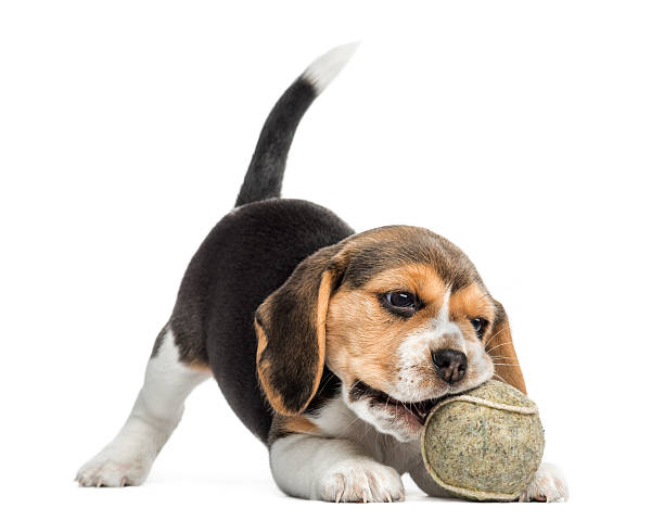 Beagle puppy playing with a tennis ball isolated on white picture id187469466?b=1&k=6&m=187469466&s=612x612&w=0&h=1bzusug4plwxzdmbilrafvpgeioqpv9qel 759mr 4m=