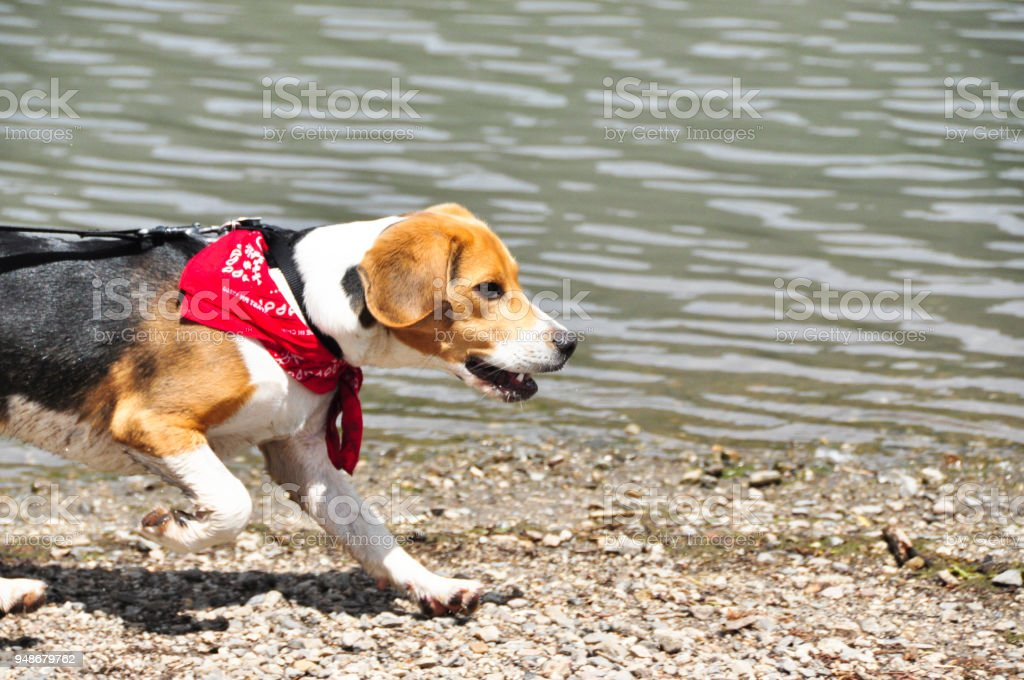 Beagle Puppy Running By A Lake Stock Photo Download Image Now Istock