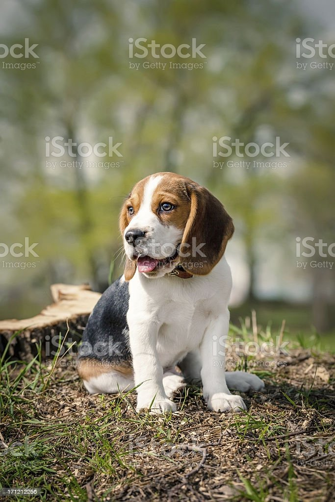 Beagle puppy sits on a green grass stock photo
