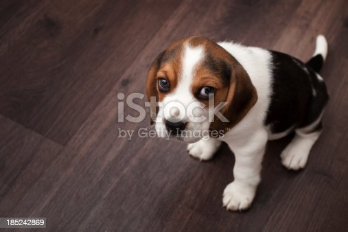 istock Beagle puppy sitting on a dark wooden floor 185242869