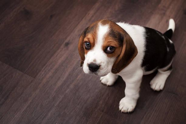 Beagle-Welpen sitzen auf einem dunklen Holzboden – Foto