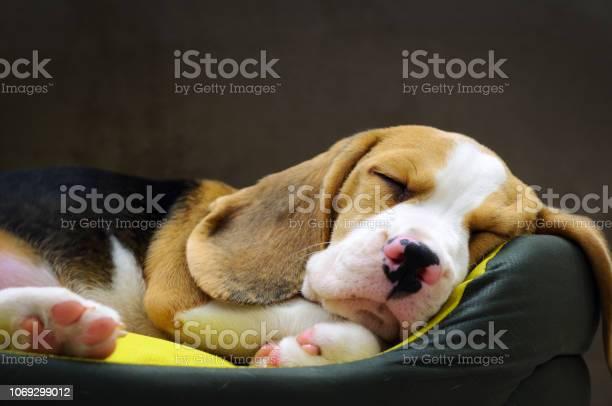 Beagle puppy sleeping picture id1069299012?b=1&k=6&m=1069299012&s=612x612&h=yrk3jhvqbwrx2lwnobapy7m4hjnoarbky6 2szewzke=