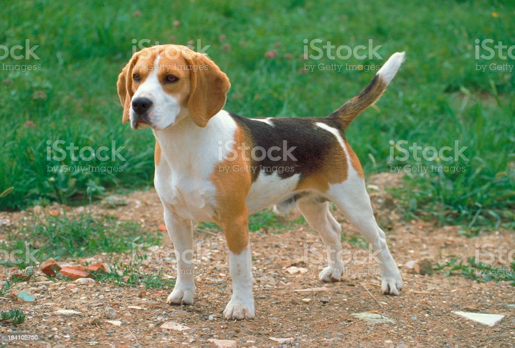 Beagle puppy standing in a meadow royalty-free stock photo
