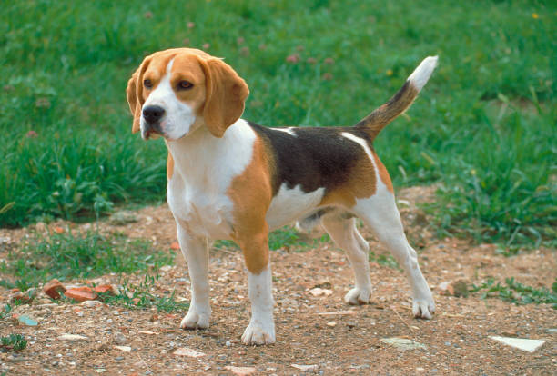 Beagle puppy standing in a meadow stock photo