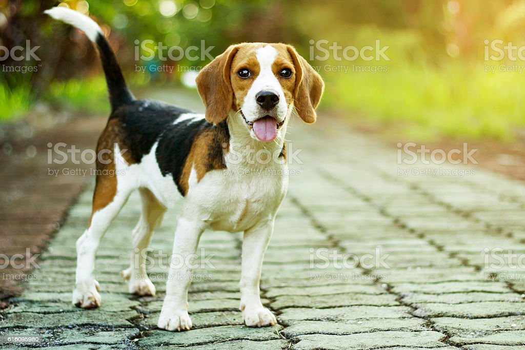 beagle puppy standing on the walkway in public park - foto de stock
