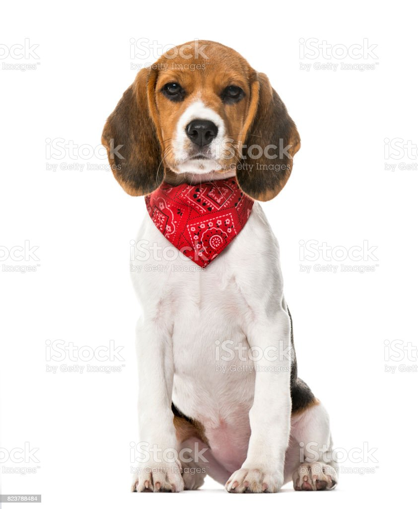 A Beagle Puppy With A Scarf Sitting Isolated On White 9 Weeks Old Stock Photo Download Image Now Istock