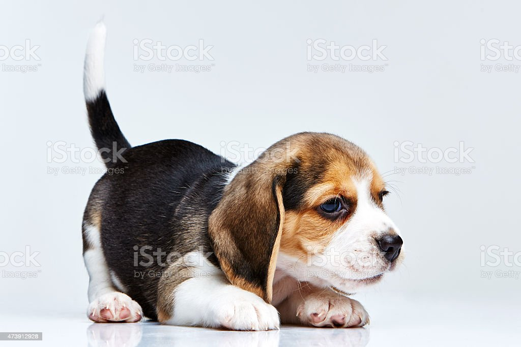 Beagle puppy with tail in the air stock photo