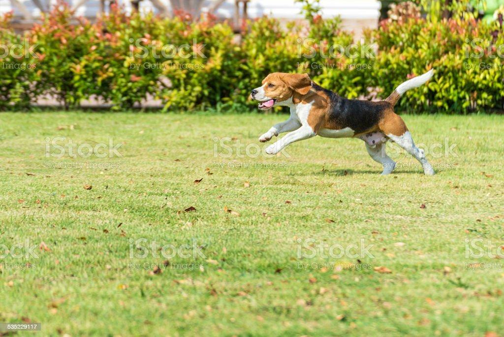 beagle run stock photo