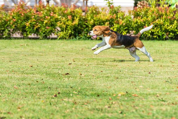 beagle-Lauf – Foto