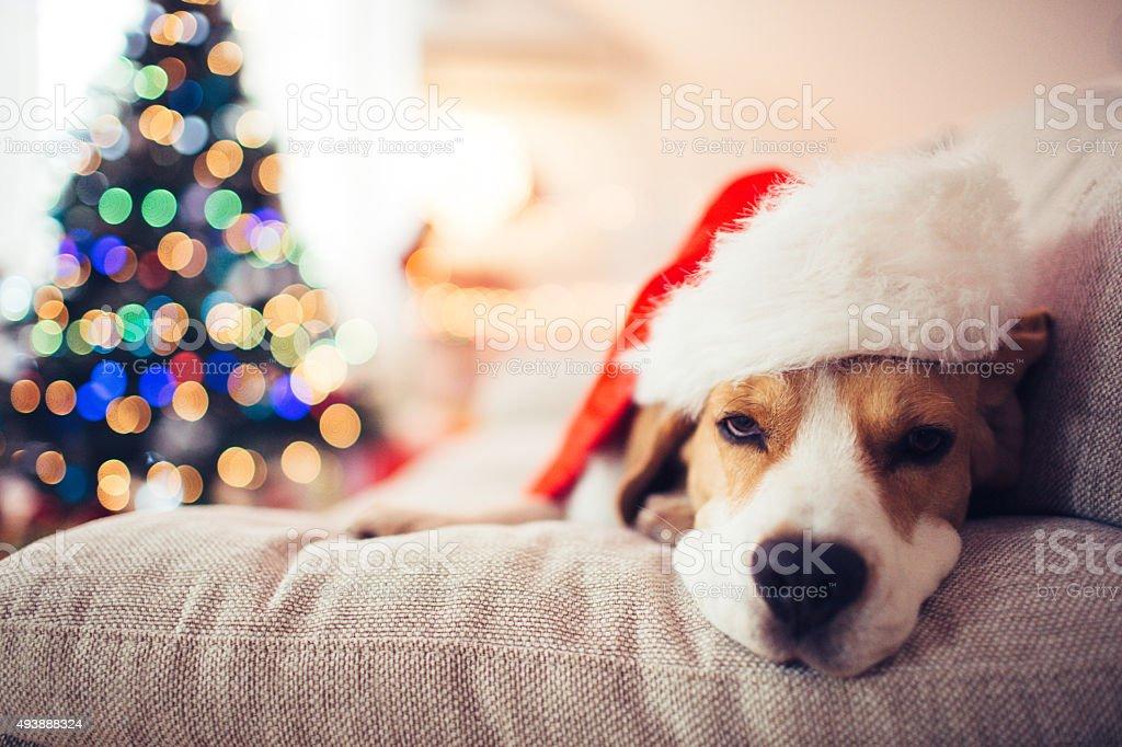 Beagle Santa stock photo