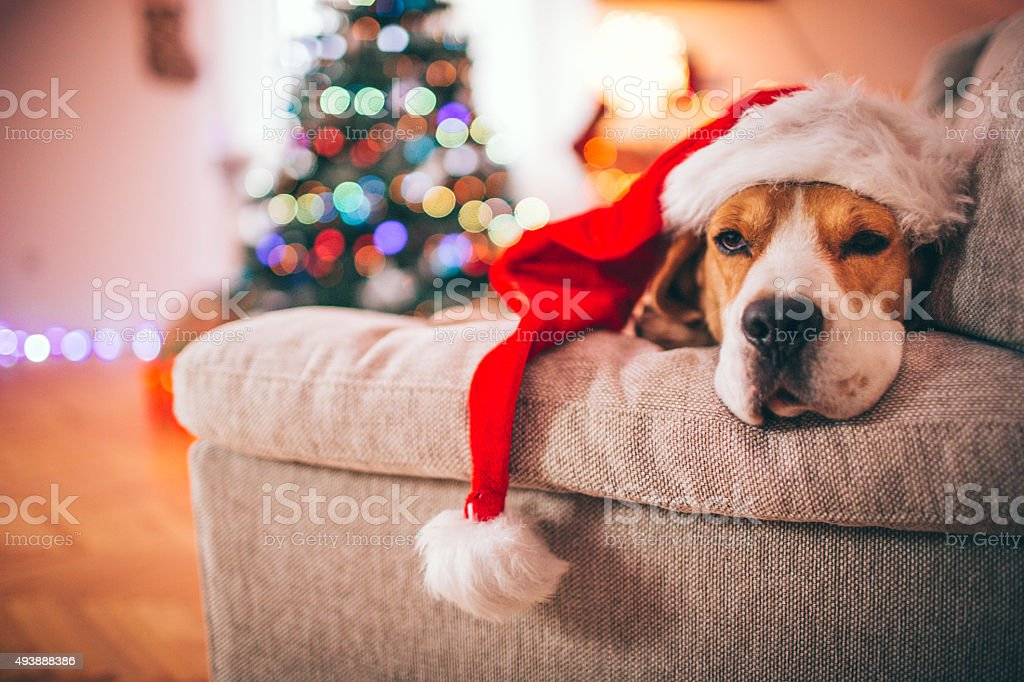 Cute beagle dog wearing a Santa\'s hat on Christmas Eve, looking tired...