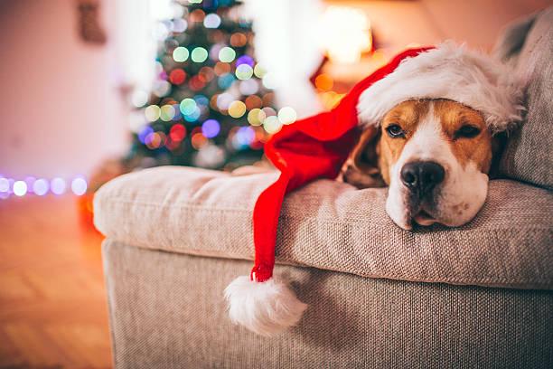 beagle santa - silvester mit hund stock-fotos und bilder