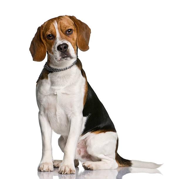 Beagle, sitzend und Blick in die Kamera – Foto