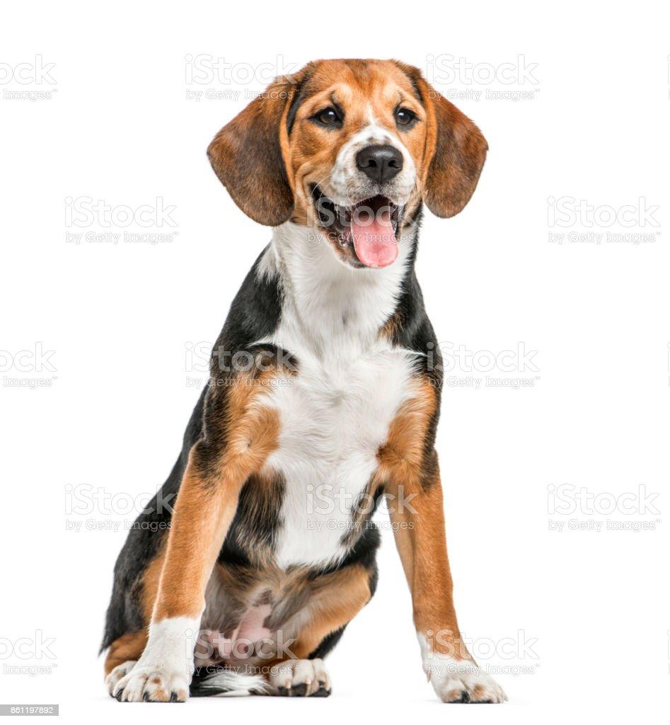 Sesión de Beagle y jadeando, aislado en blanco - foto de stock