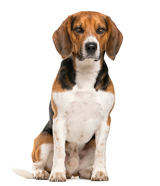Beagle sitting in front of a white background picture id508855808?b=1&k=6&m=508855808&s=612x612&w=0&h=kzdbood diip2q9z xdilea6meo9py3pxes3vkktsmo=