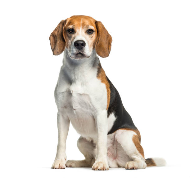 Beagle sitting in front of white background picture id1137633404?b=1&k=6&m=1137633404&s=612x612&w=0&h=ortv n3p5px650gkcx8fvf4jlrb5ueopikdawxrtdc8=