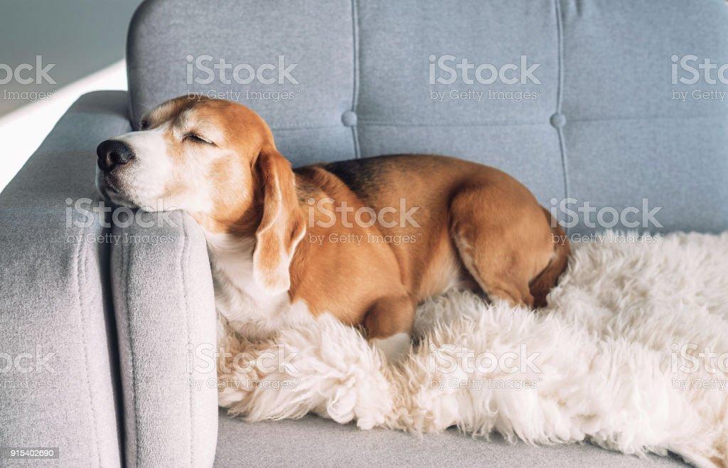Beagle se duerme en el sofá acogedor foto de stock libre de derechos