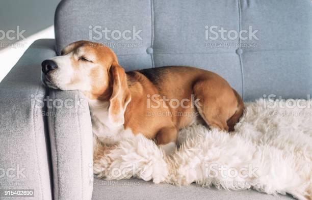 Beagle sleeps on cozy sofa picture id915402690?b=1&k=6&m=915402690&s=612x612&h=0wqhuaikodqe9mgjut9qdntda96ndwya3y3e5qctu0i=