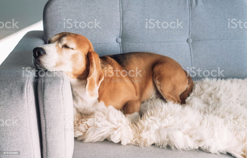 Beagle sleeps on cozy sofa стоковое фото