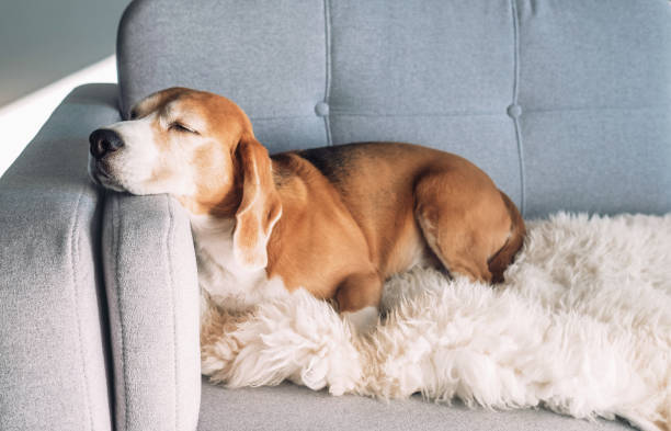 beagle sleeps on cozy sofa - warm house stock photos and pictures