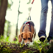 istock Beagle Sniffing and Hunting in Forest Park 154956721