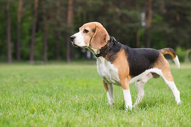 Beagle steht im Feld. – Foto