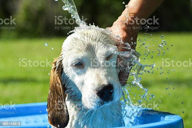 Beagle take a summer bath picture id504443478?b=1&k=6&m=504443478&s=612x612&h=yk gq6y88ea8gysv1bn1cnc5f6 xqm87poqgzshdd0e=