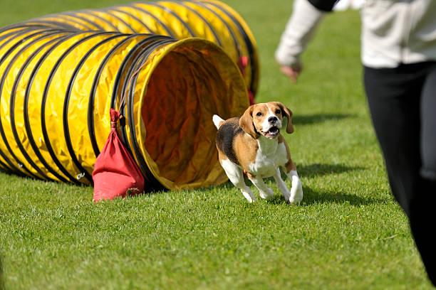 Beagle tunnel exit stock photo