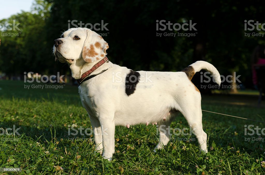 Beagle waiting in a city park Стоковые фото Стоковая фотография
