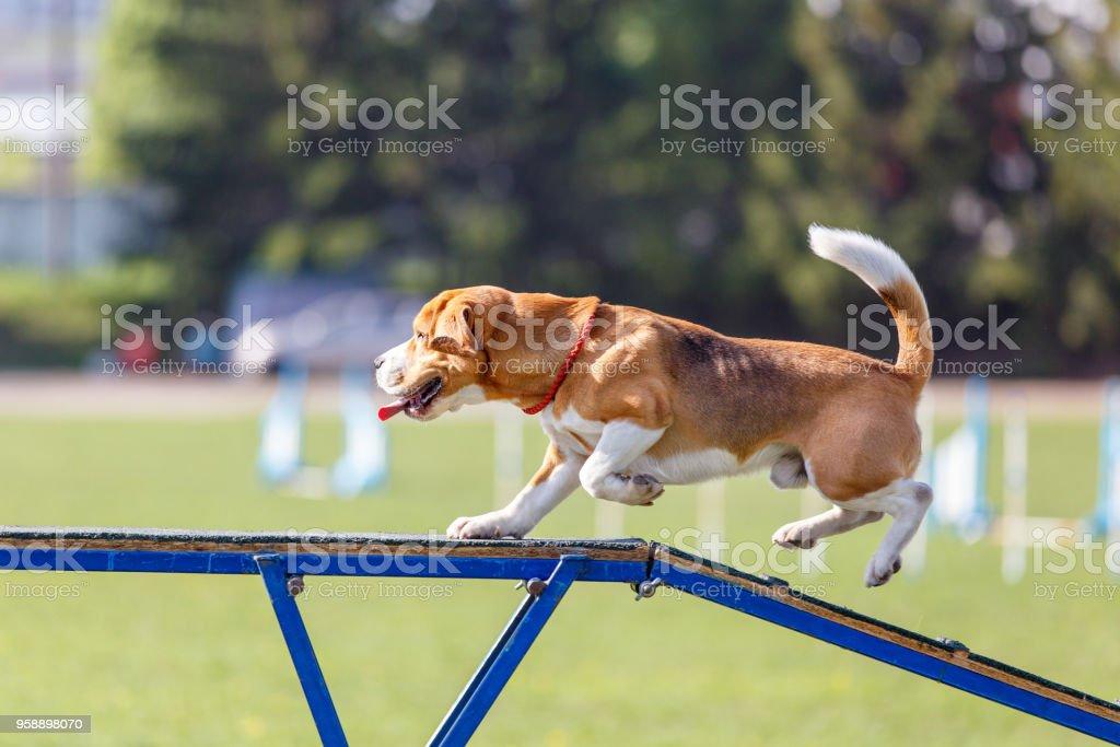 Beagle en paseo de perros en competencia de agilidad - foto de stock