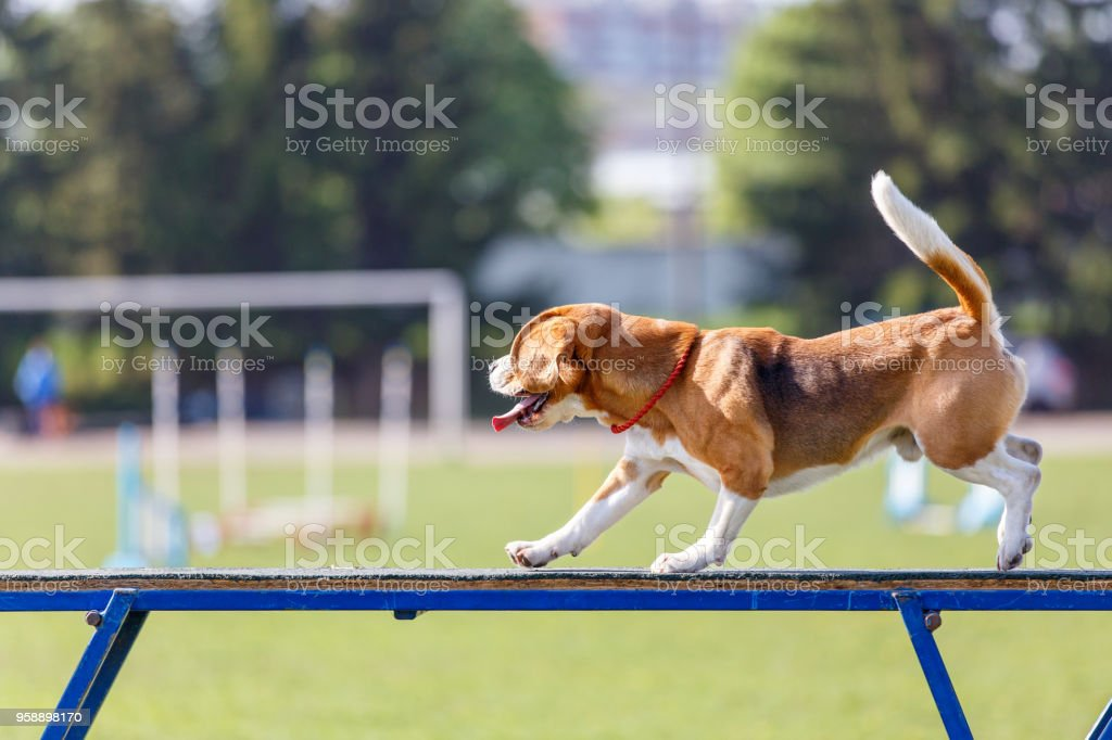 Beagle, marcher sur la promenade de chien au concours d'agilité - Photo