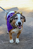 Athens, Georgia - October 15, 2017: A friendly older beagle wearing a purple cape and a crown costume, looks up during the Boo-le-Bark parade.