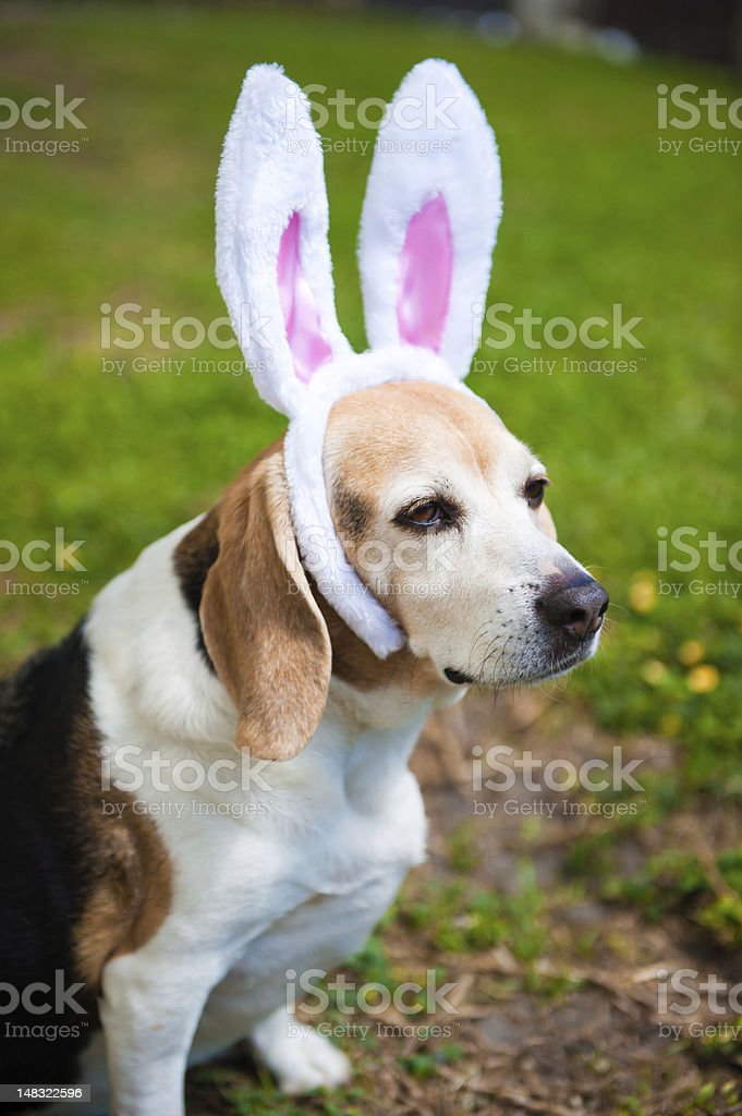 Beagle wearing bunny ears for Easter. stock photo