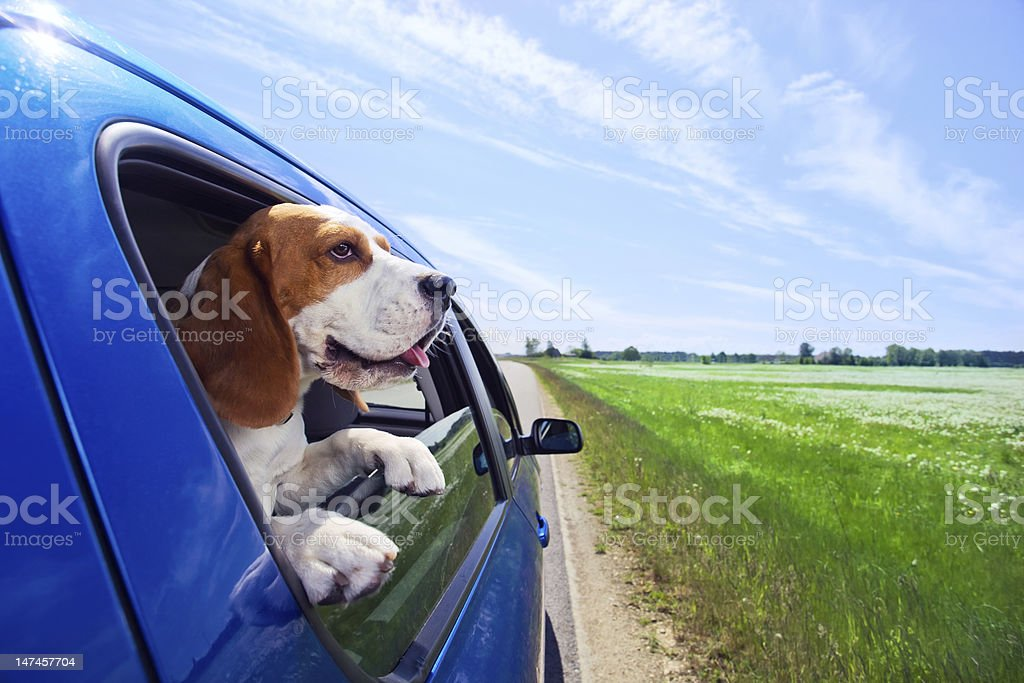 Beagle with head peaking outside of a blue car royalty-free stock photo