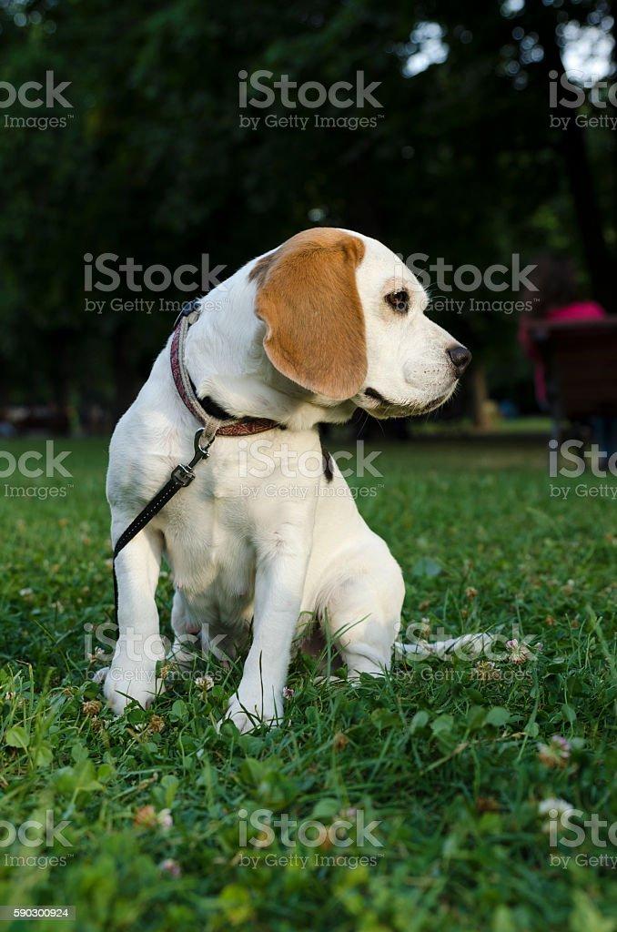 Beagle with leash in a park Стоковые фото Стоковая фотография