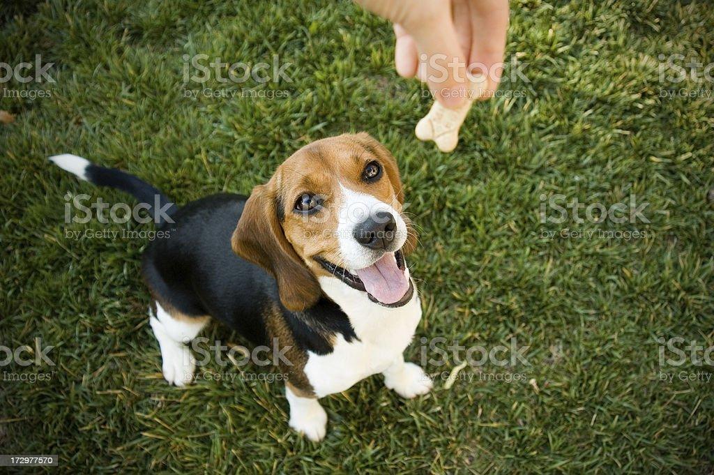 Beagle con tratamiento - foto de stock