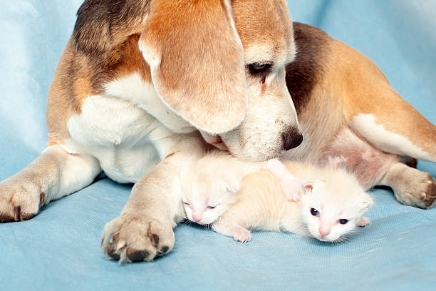 Beagle with two kittens picture id530104055?b=1&k=6&m=530104055&s=612x612&w=0&h=o8mnseyc  iypdo3kd1knhwnkqfqhoctoskuyfaqie8=