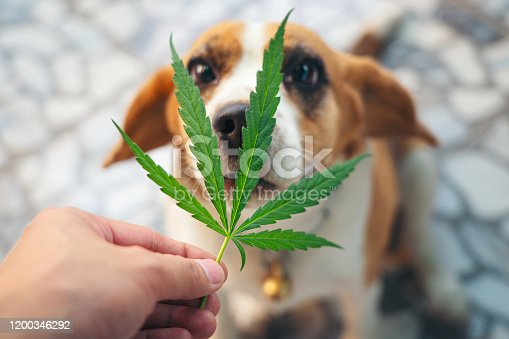 Beagles puppies looking up with Cannabis leaves over nose, medical marijuana for pets concept