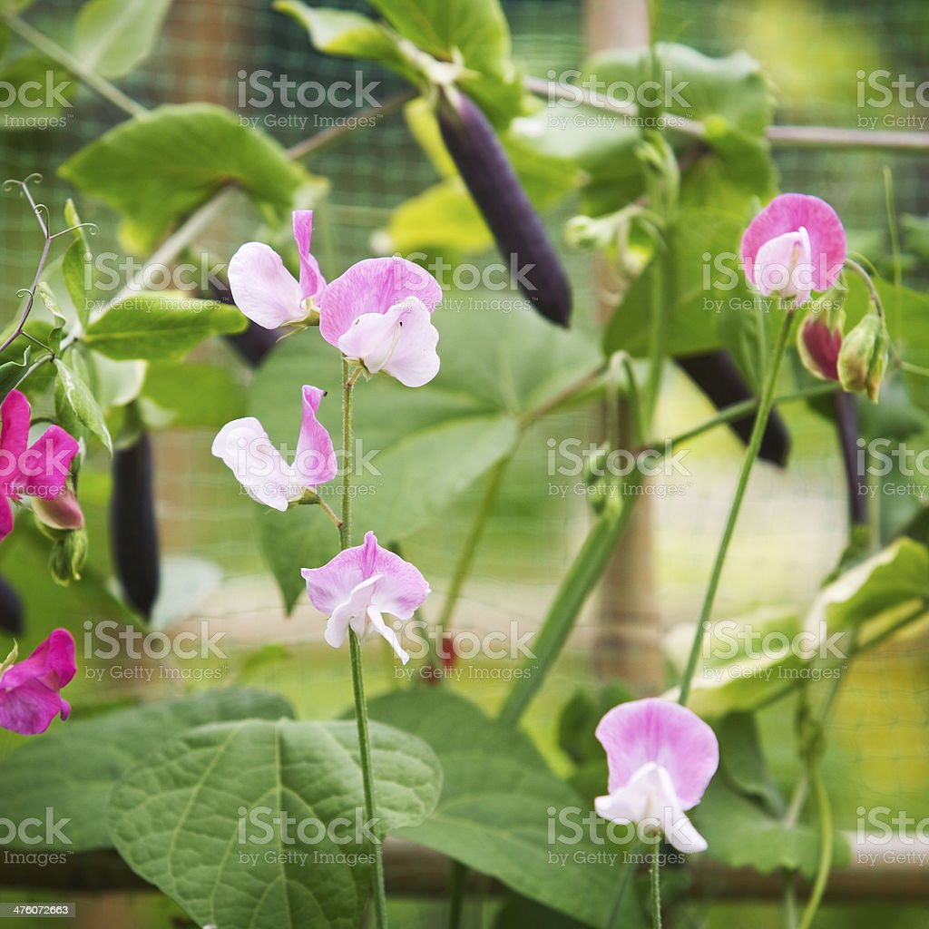 Bean and Vicia Flowers stock photo