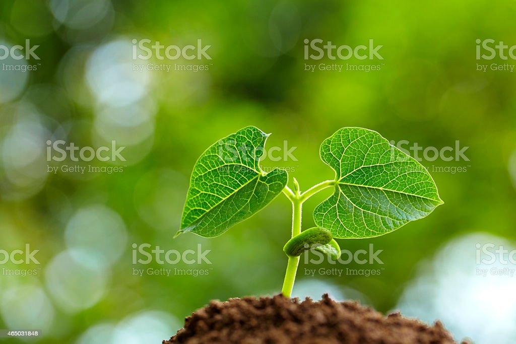 bean bud growing in spring stock photo
