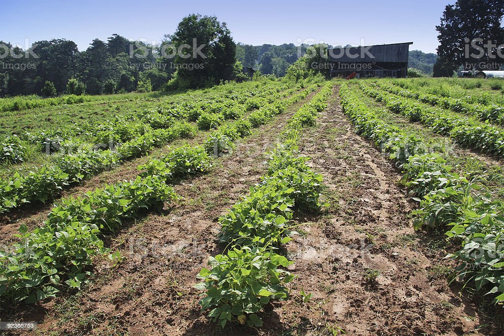 Bean Field Landscape royalty-free stock photo
