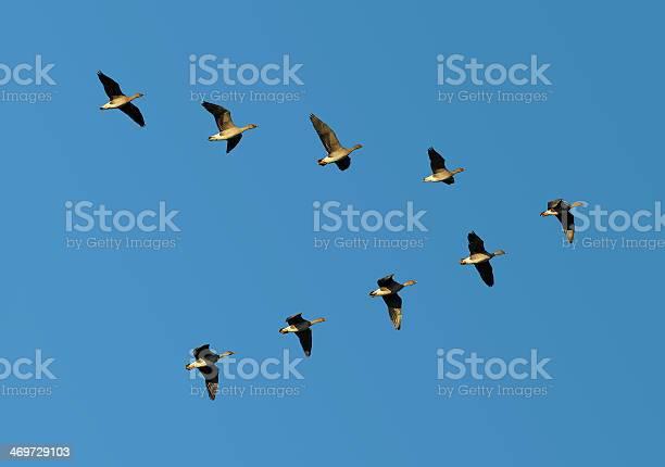 Bean geese in flight picture id469729103?b=1&k=6&m=469729103&s=612x612&h=l9ah1e1ow k hwzcvlnzz6dvolwqjtlz6auvwbvgdwc=