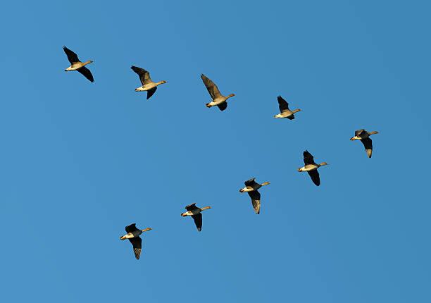 Bean geese in flight stock photo