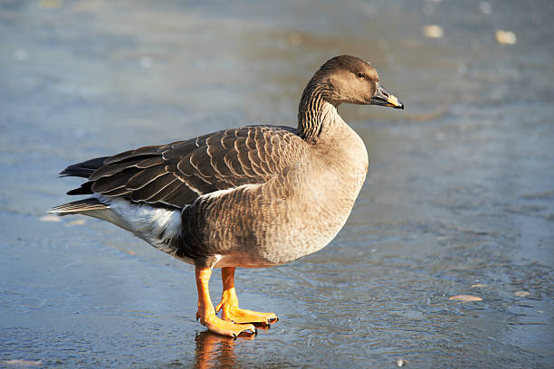 Bean Goose (Anser fabalis) Standing On The Ice lake waterfowl stock pictures, royalty-free photos & images